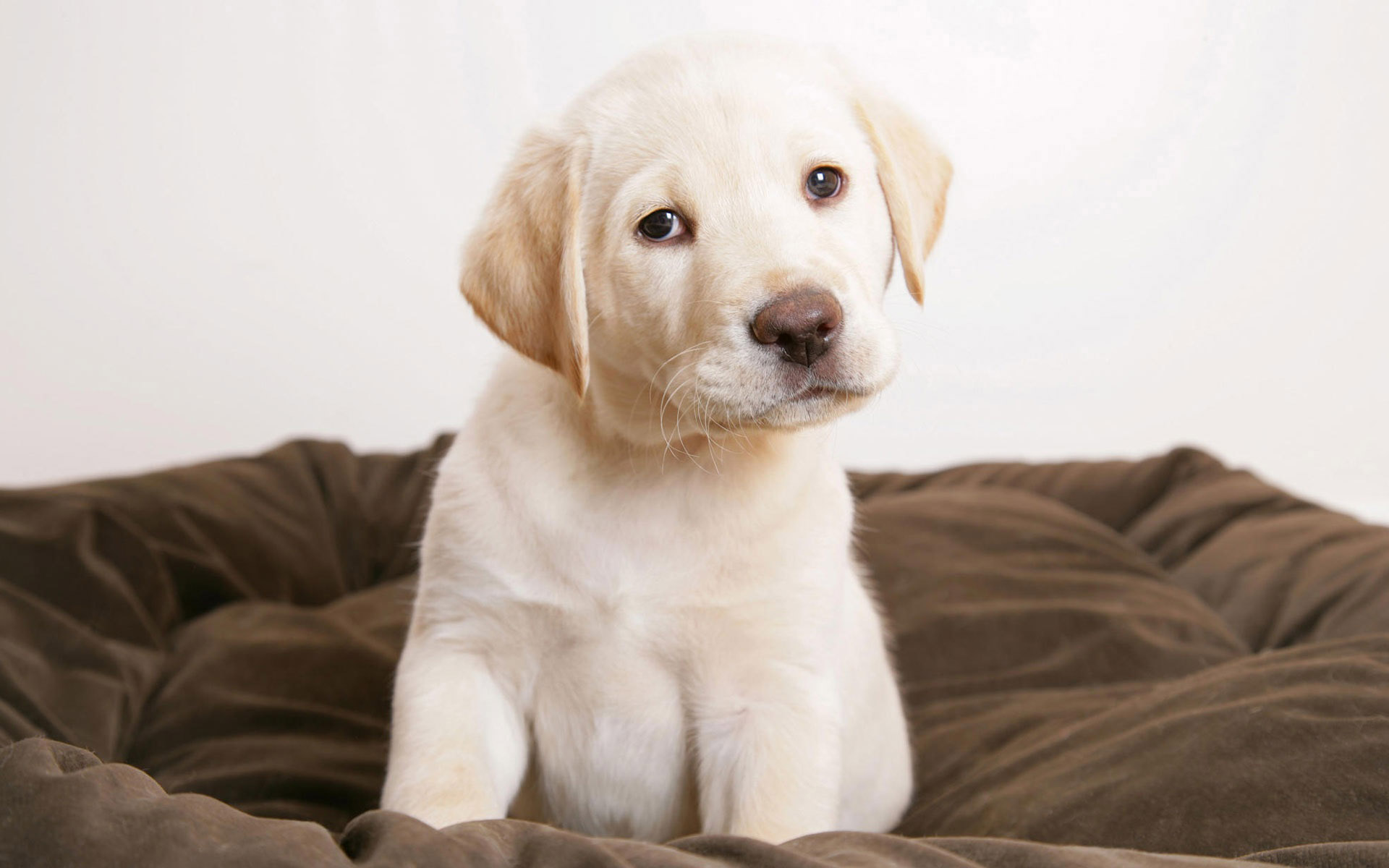 Cute Labrador Puppy Pictures