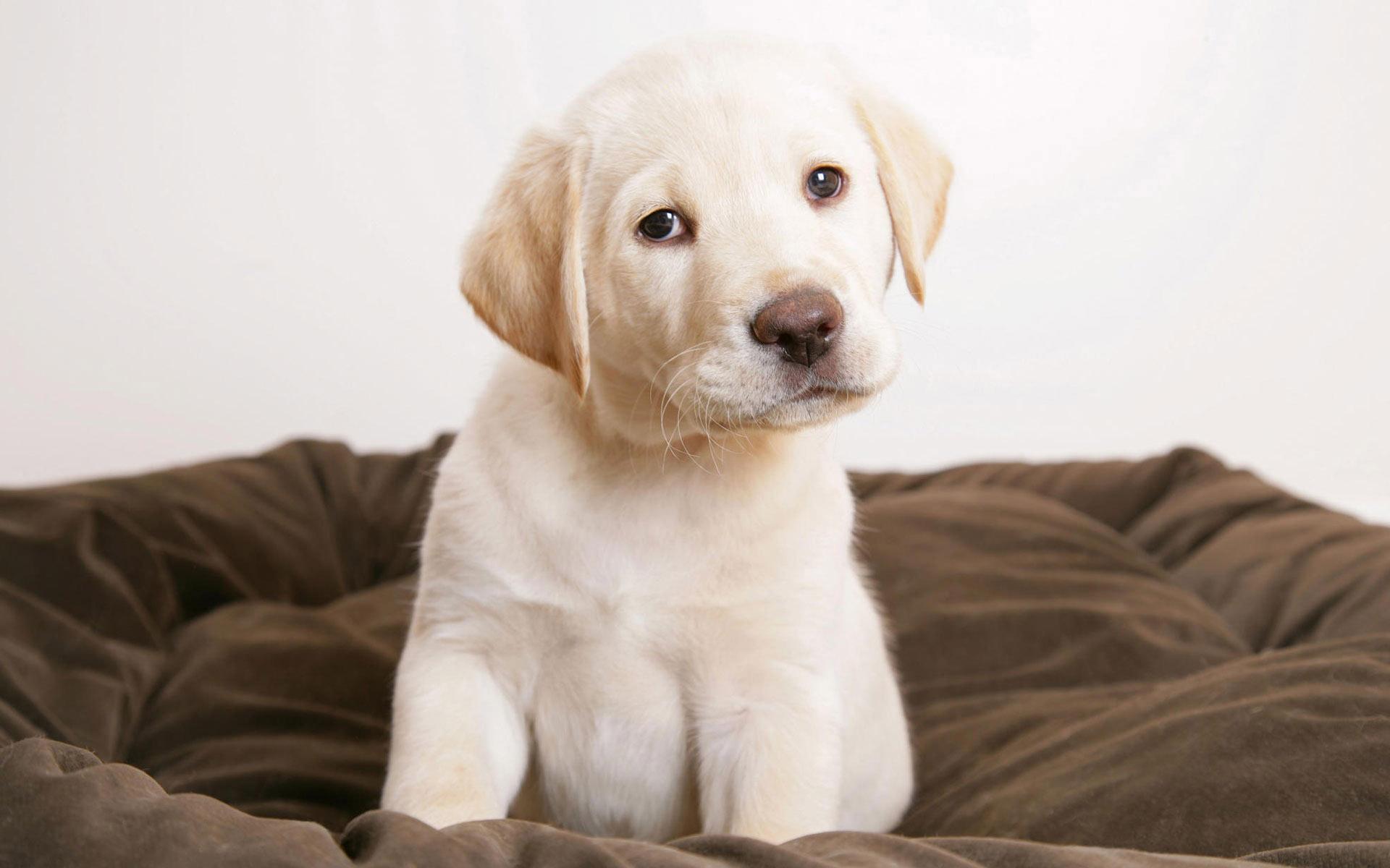 Cute Labrador Puppy Wallpaper 1920x1200 12464