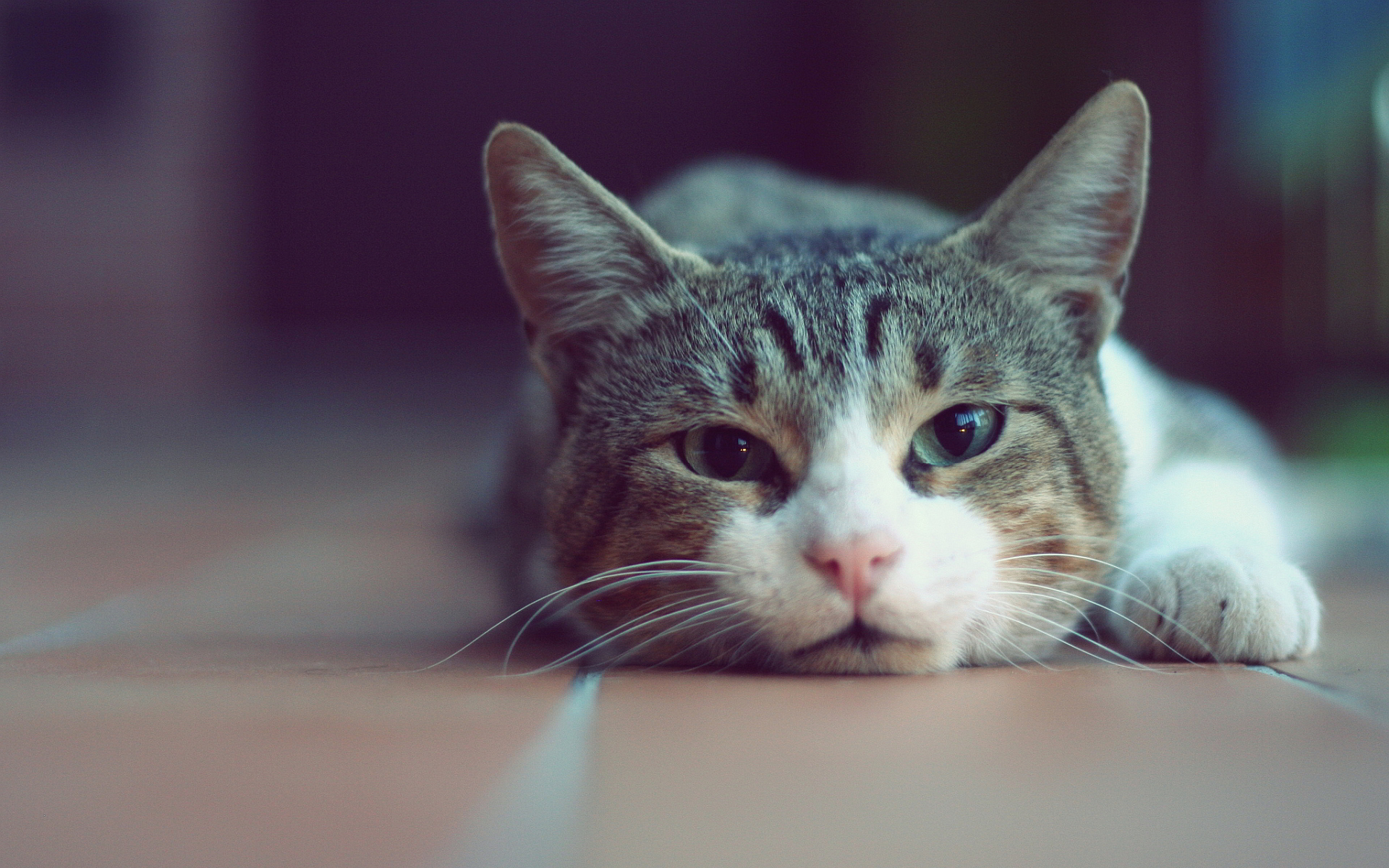 Cute lazy cat