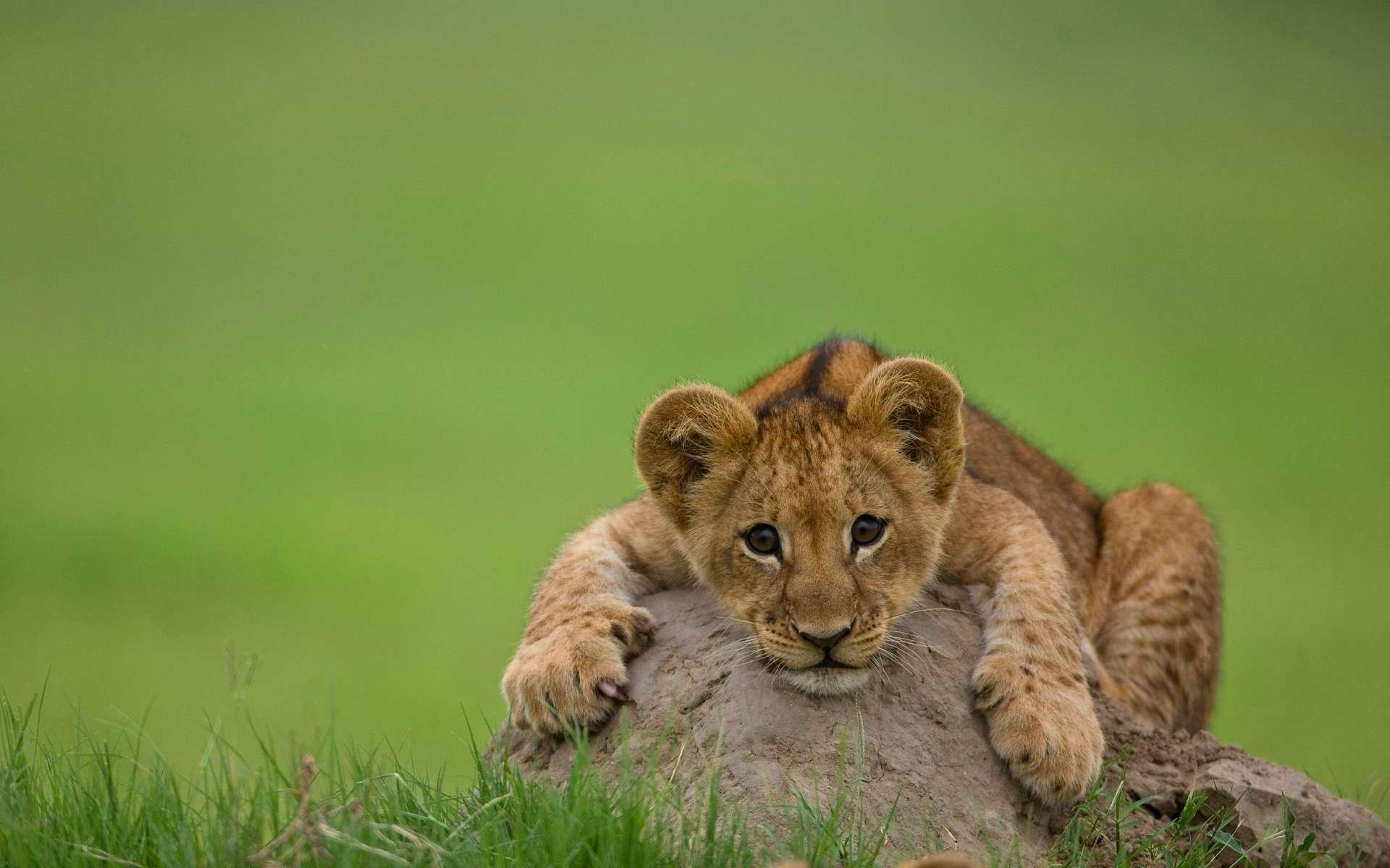 cute baby cheetah wallpaper | 1920x1080 | #12377
