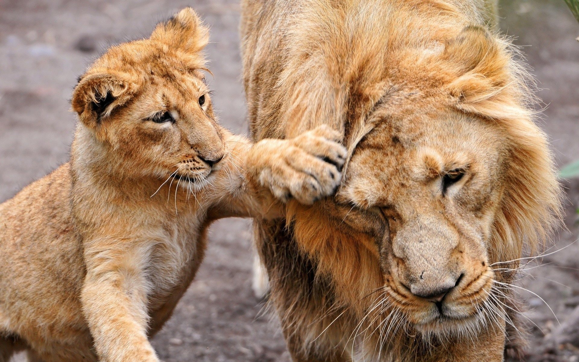 Cute Lioness Her Cube HD wallpapers