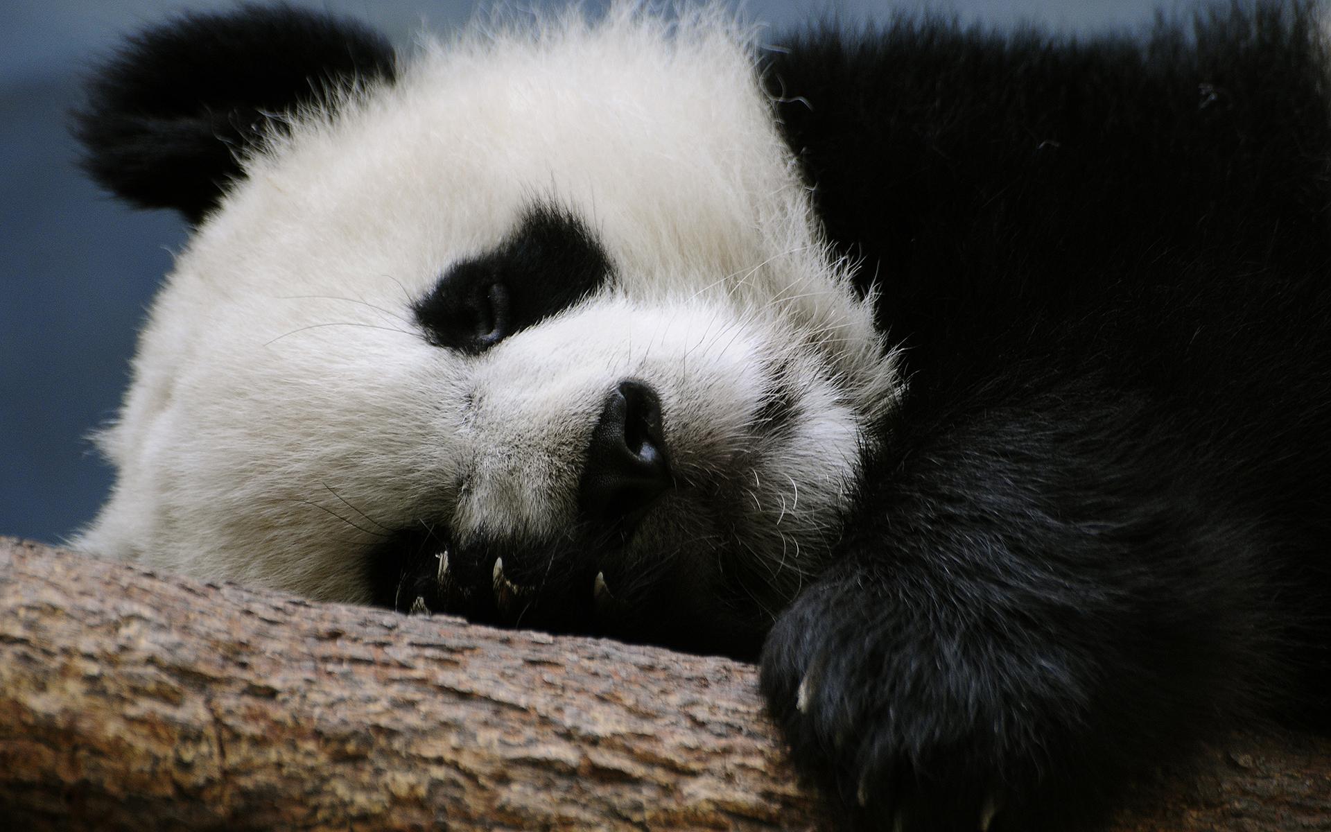Cute little panda sleeping