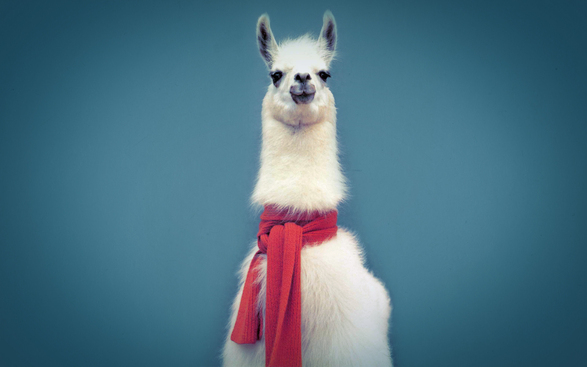 Llama Picture HD Wallpaper
