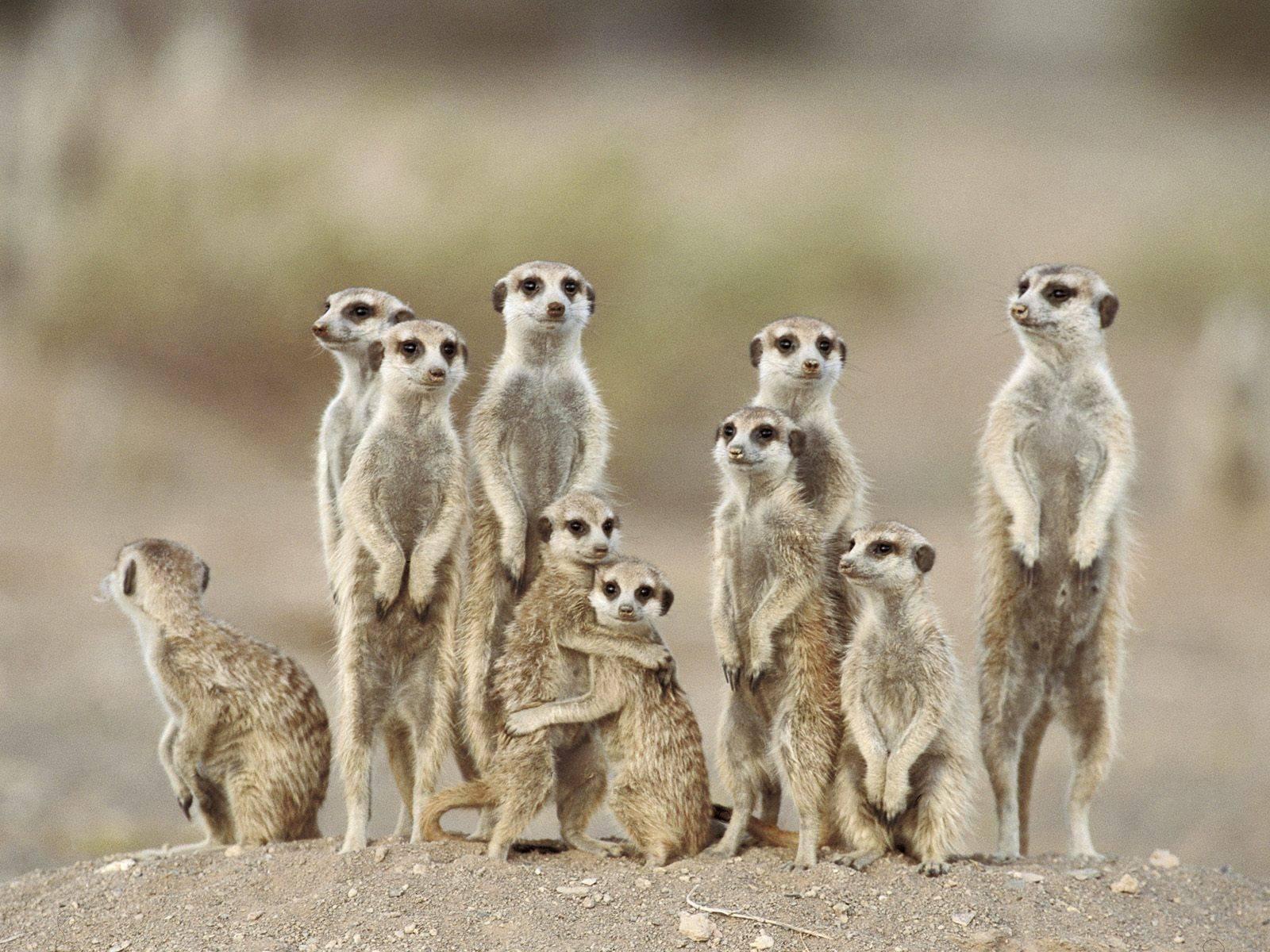 Cute Meerkat Wallpaper