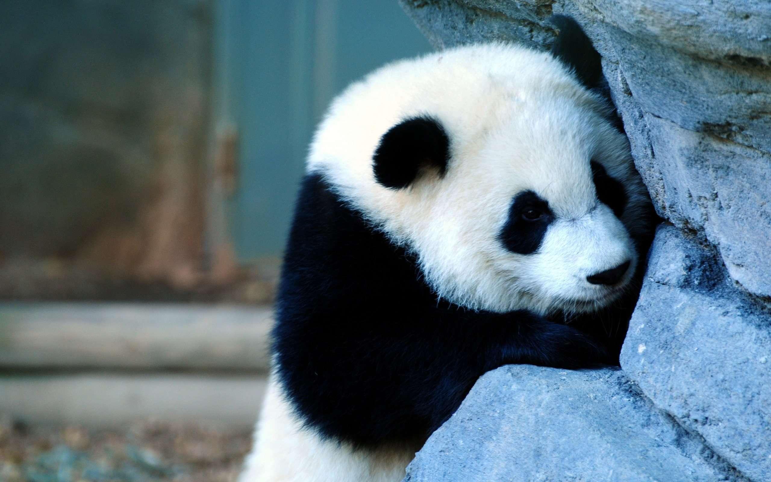 Cute Panda Wallpaper 15790 2560x1600 px