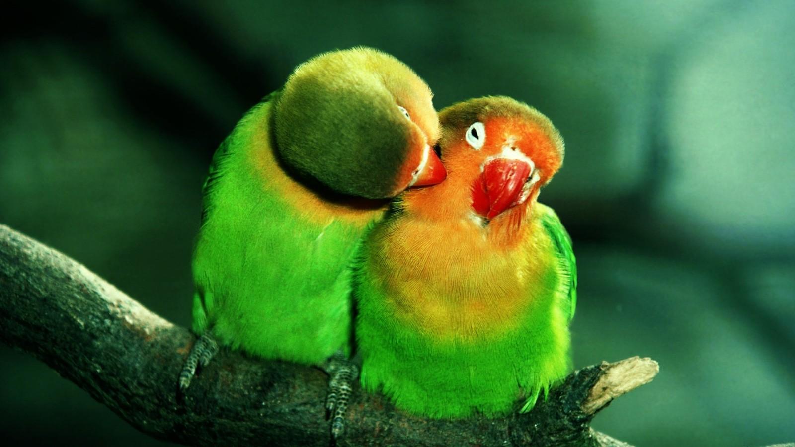Download Cute Parrots in Love Wallpaper :