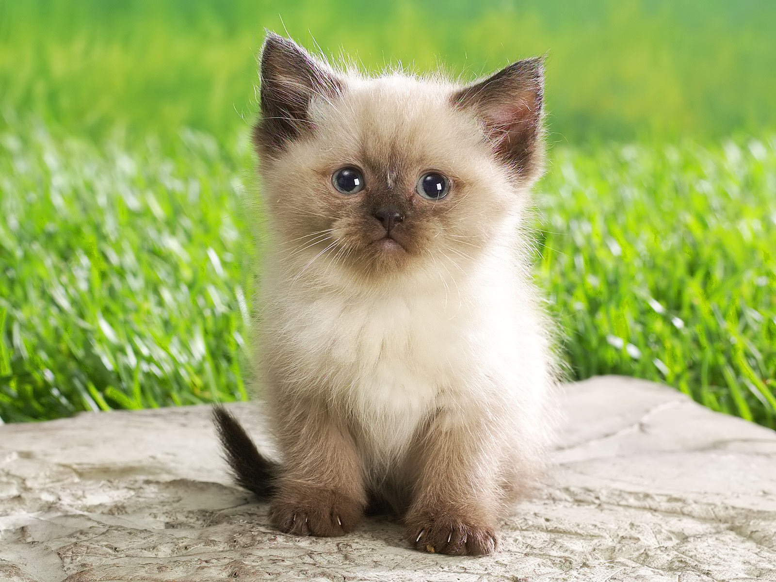 Cute Kitten - babies-pets-and-animals Wallpaper