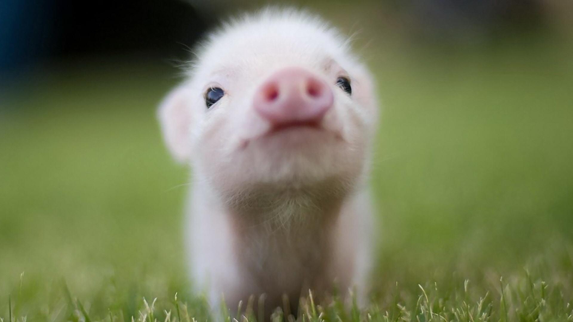 Cute Pig Wallpaper 24430 1920x1200 px