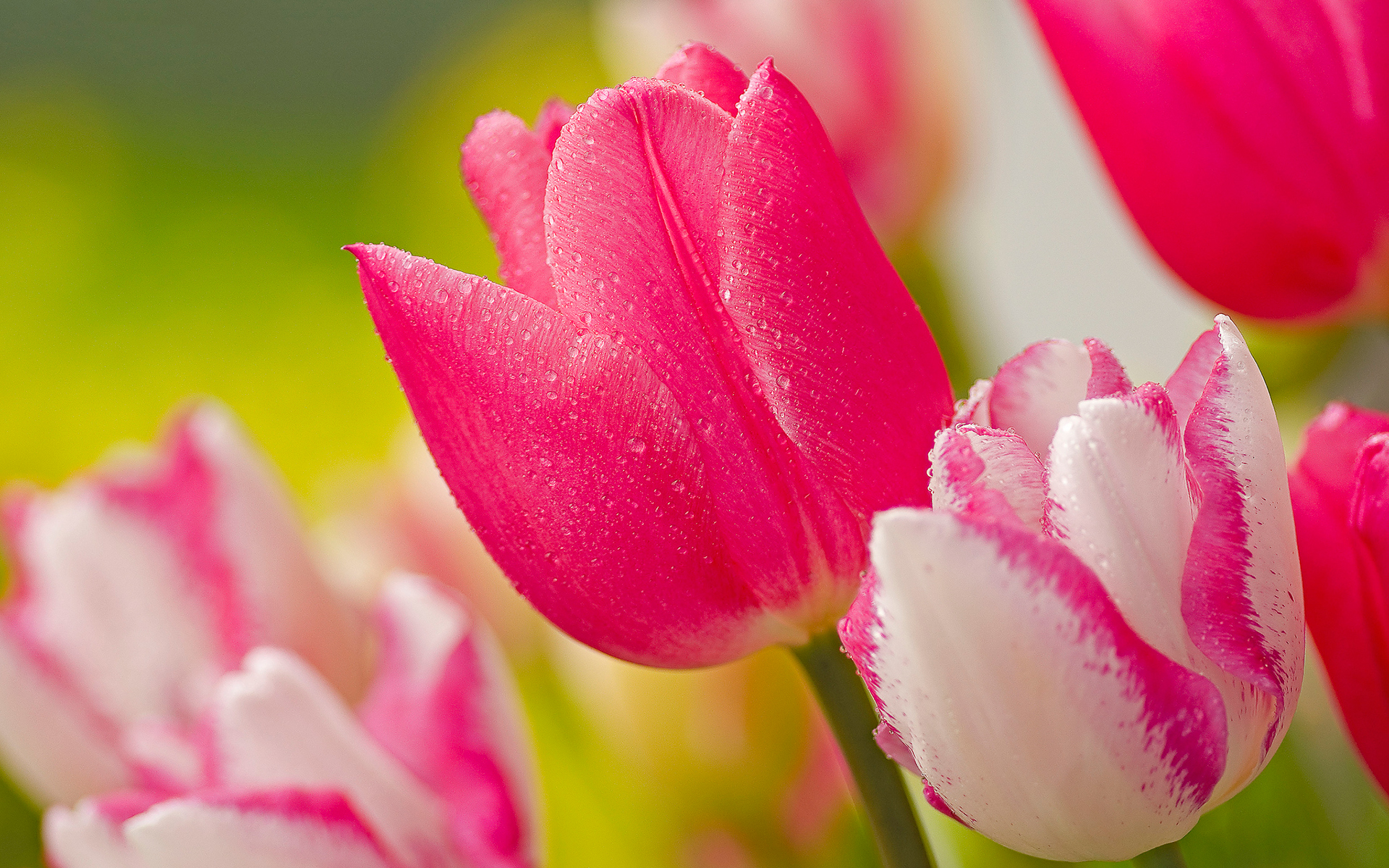 Cute Pink Tulips