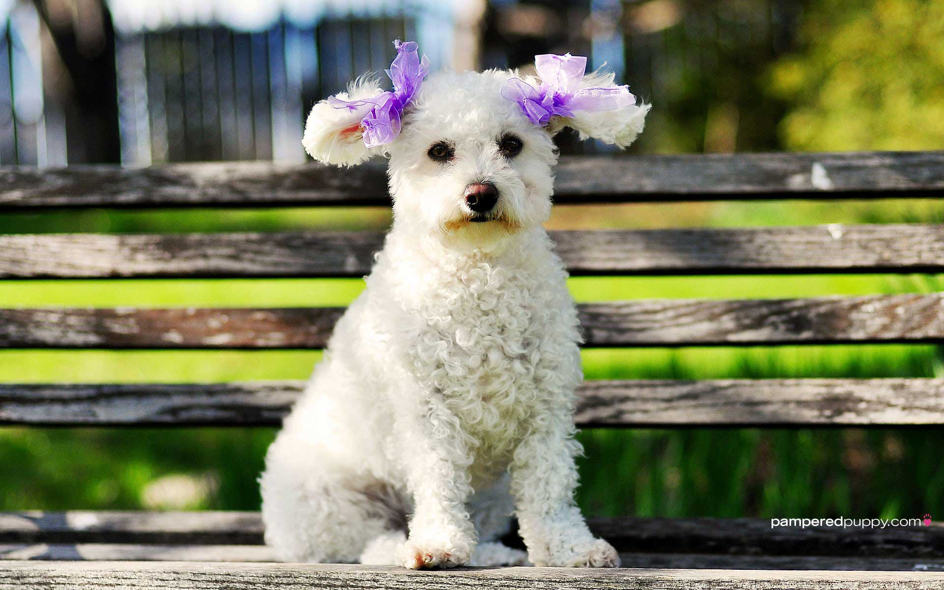 Cute Poodle Wallpaper