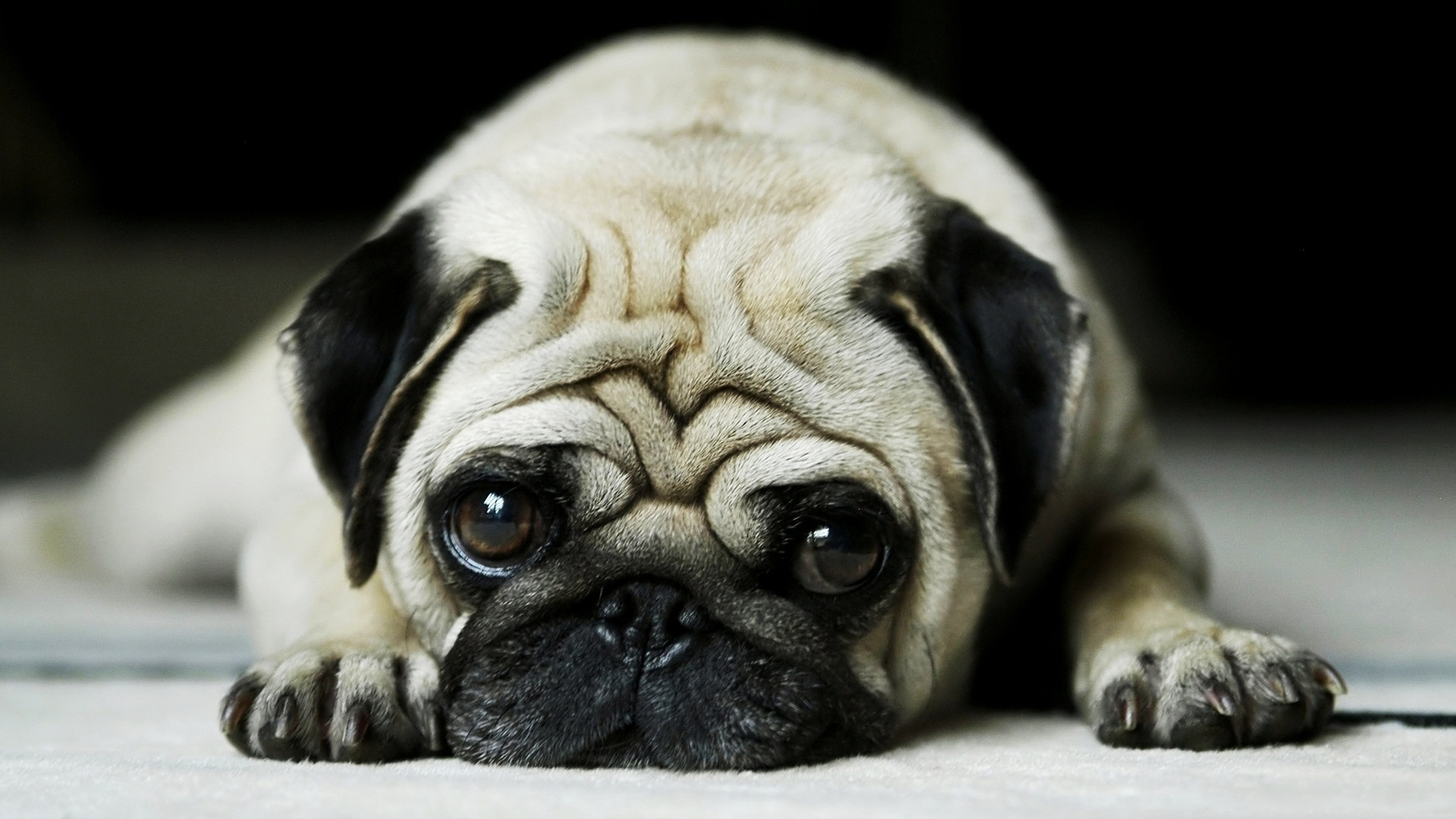 Preview wallpaper pug, face, cute, puppy 1920x1080