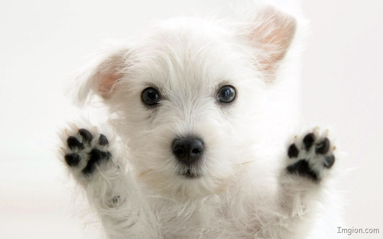 White Cute Puppy