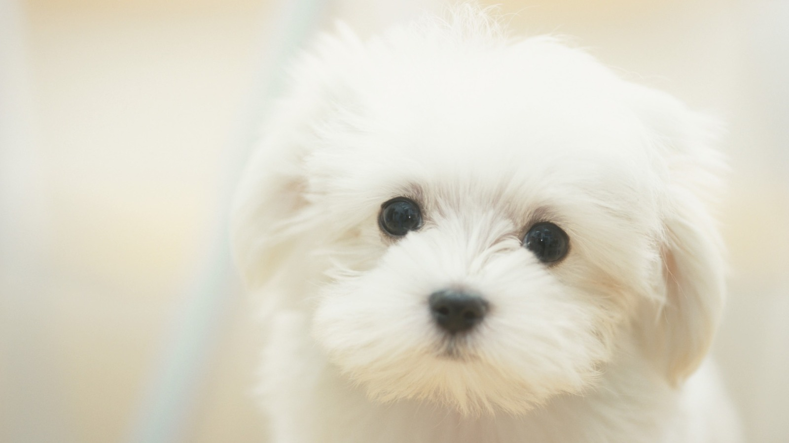 Wallpapers for Gt Of Cute Puppies in Hd