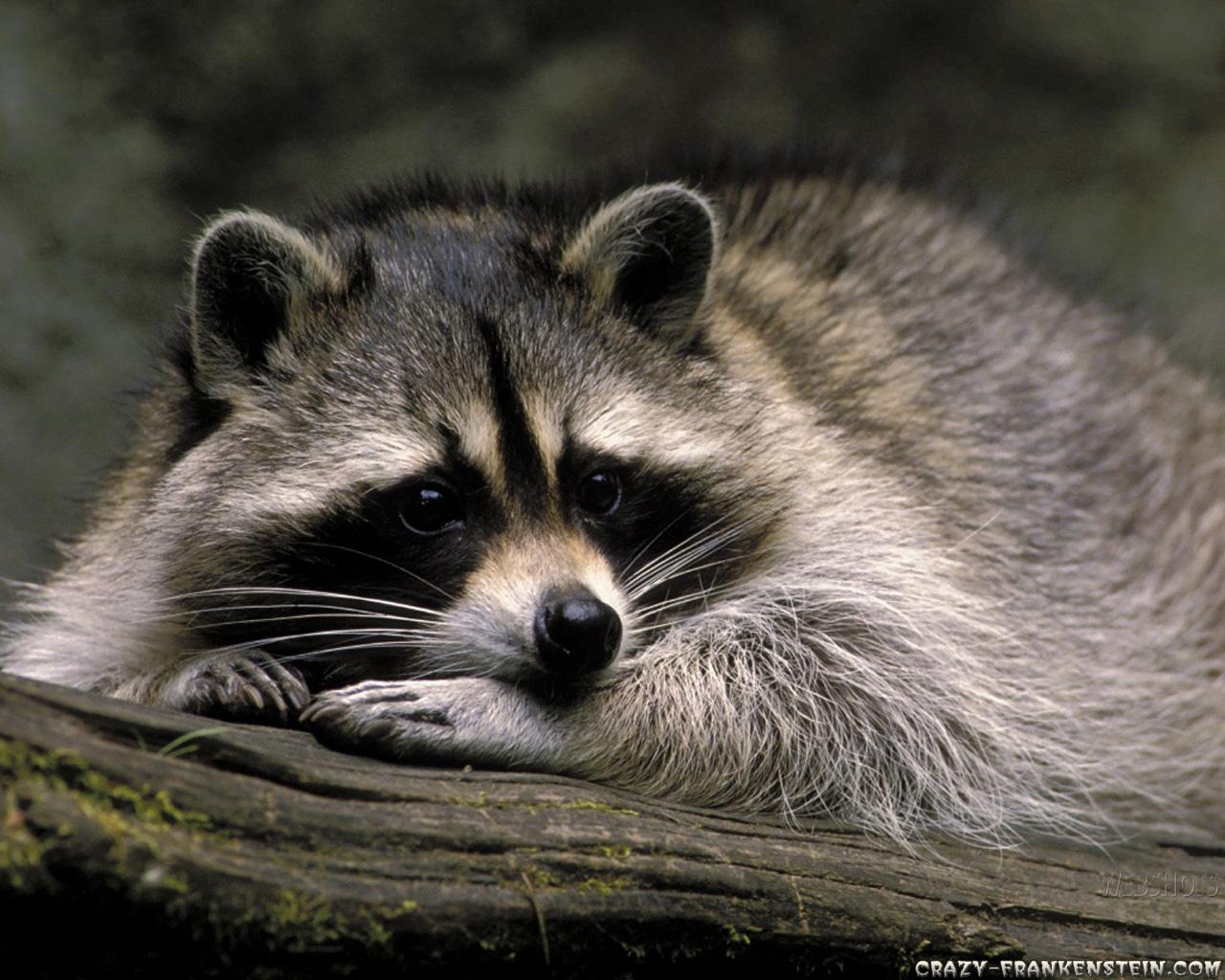 Cute Raccoon Wallpaper