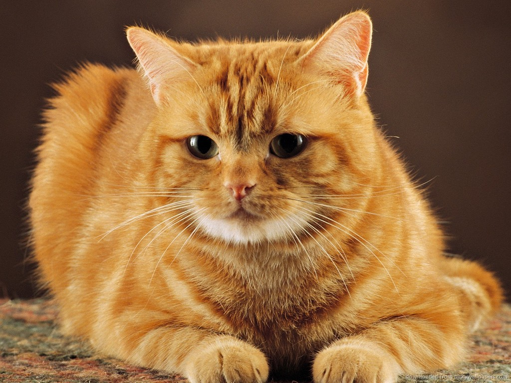 ... Cute red cat for 1024x768