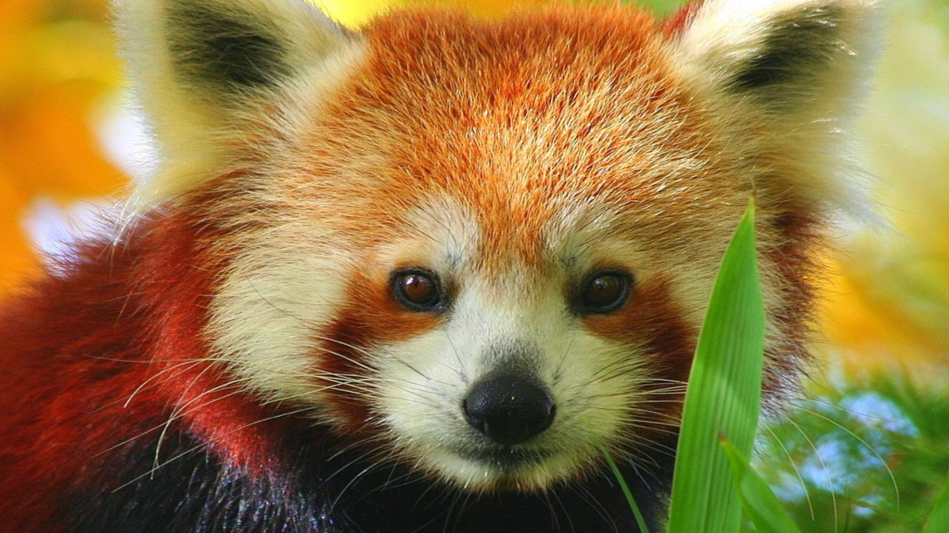 Red Panda Cute Photos 6 HD Images Wallpapers