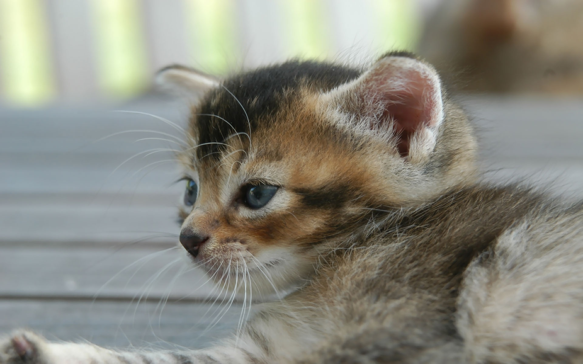 Kitten Cute Background Desktop Wallpaper 1920x1200px