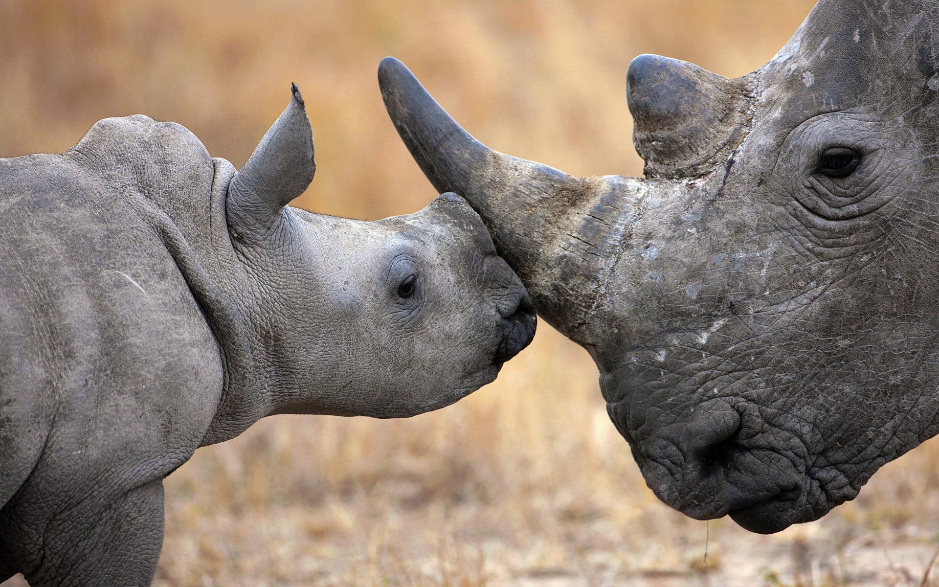 Cute Rhino Wallpaper