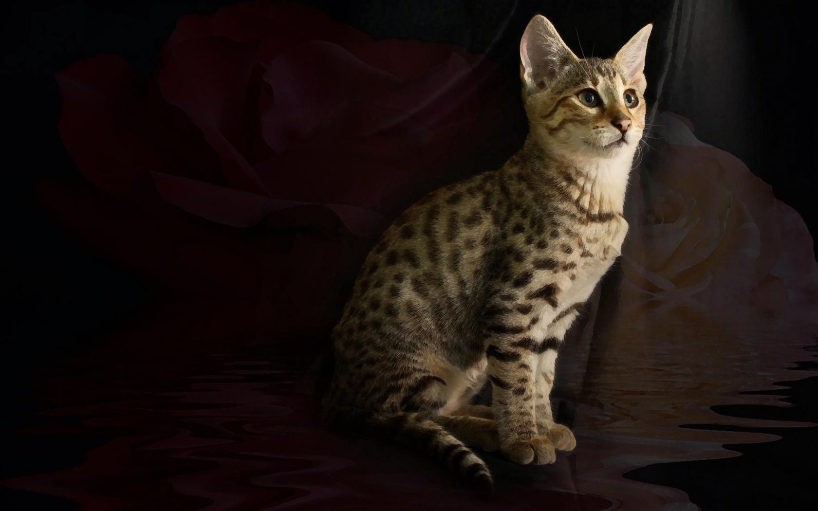 Savannah Cat Kitten