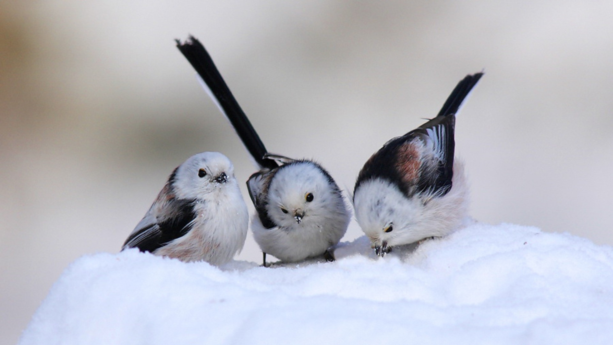 Cute Snow Bird Wallpaper