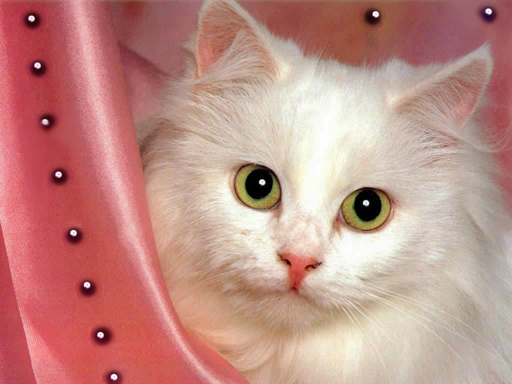 Cute White Cat Wallpapers