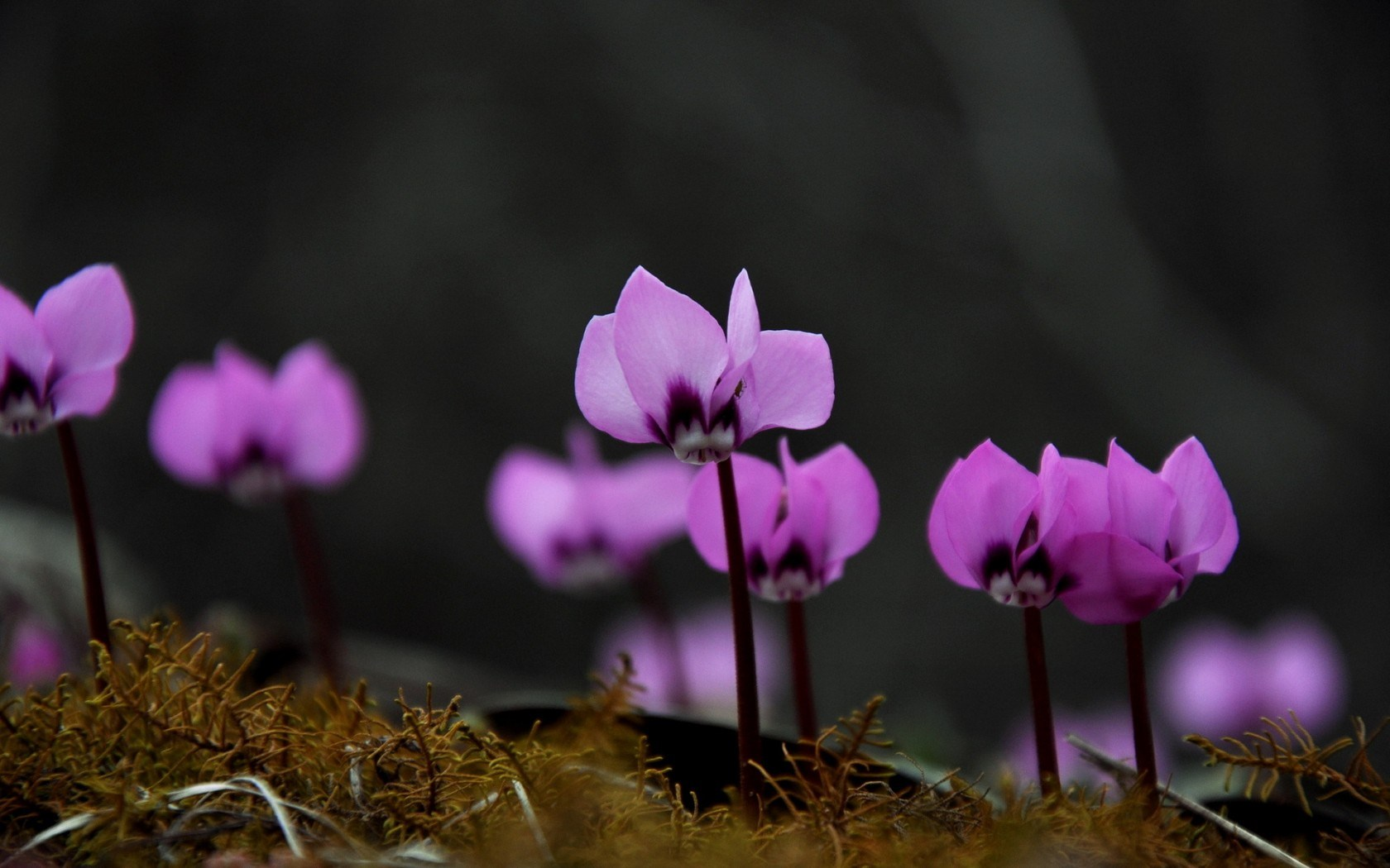 Cyclamen