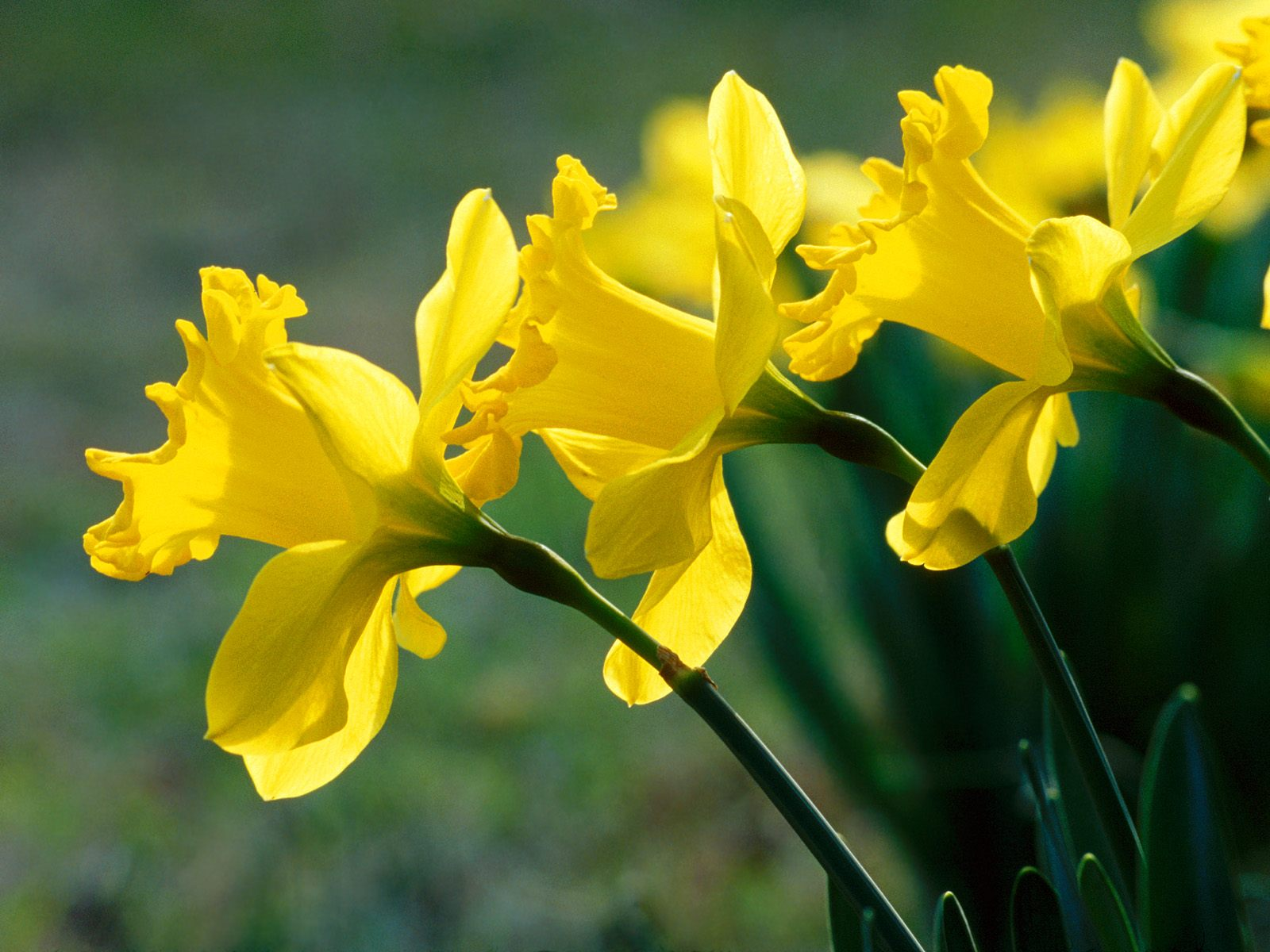 how to cut daffodils flowers