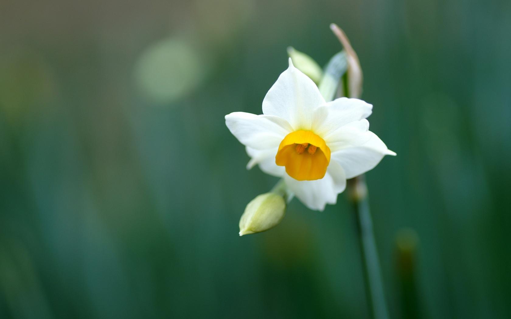 Pretty Daffodil Wallpaper 45405 1680x1050 px