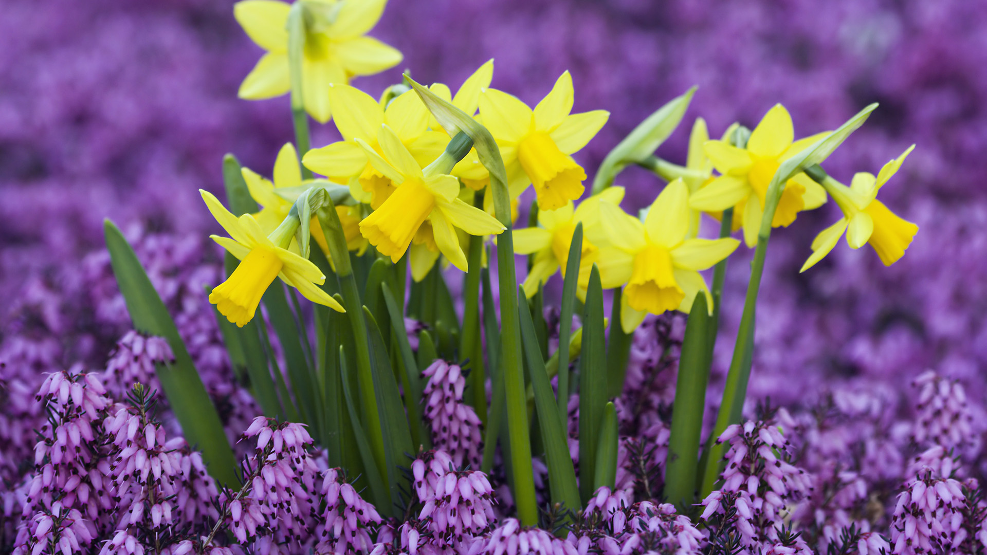 yellow daffodils in purple heather germany