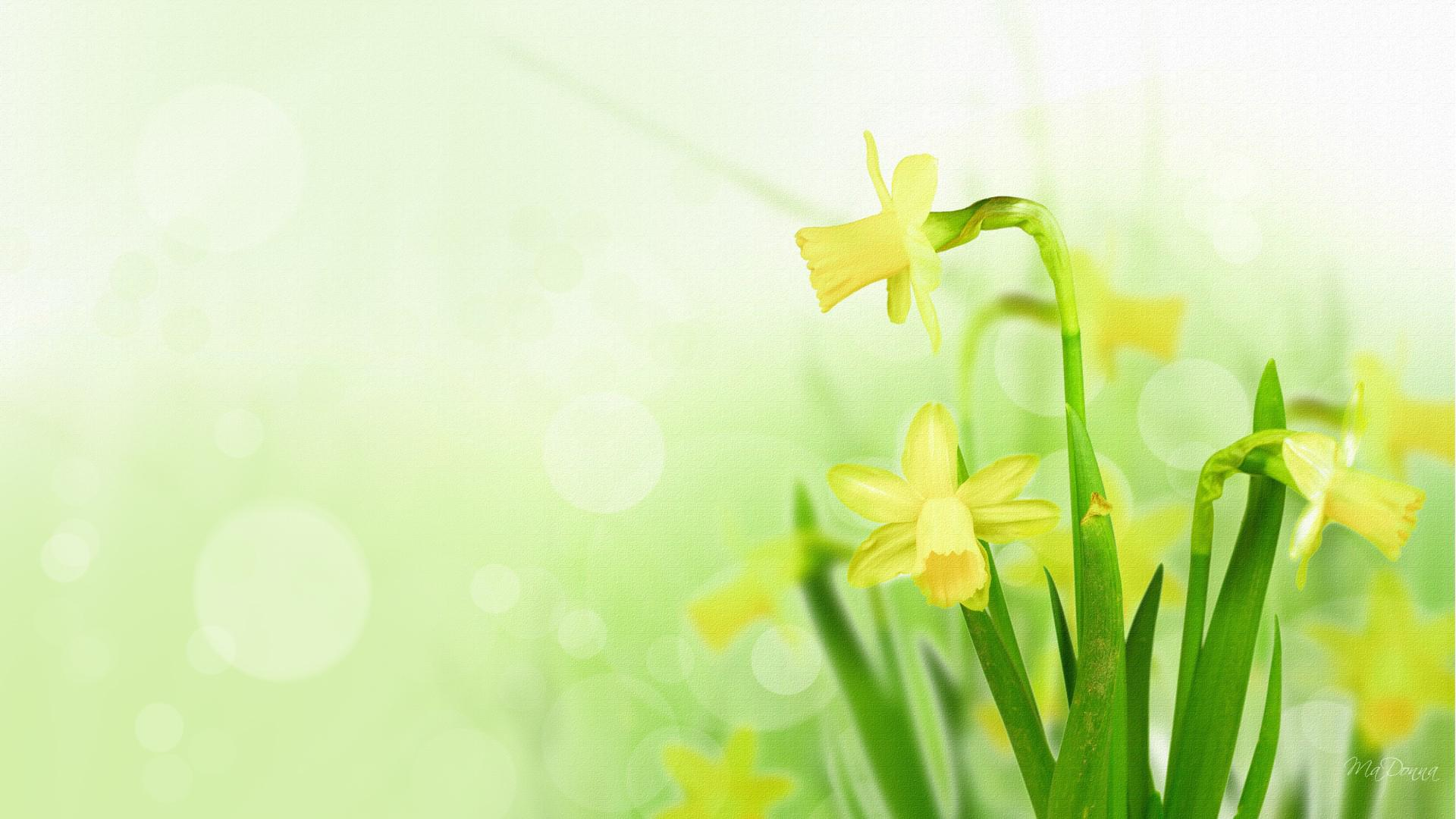 Daffodil Wallpapers Free Images Cool Flowers Hd 1920x1080px