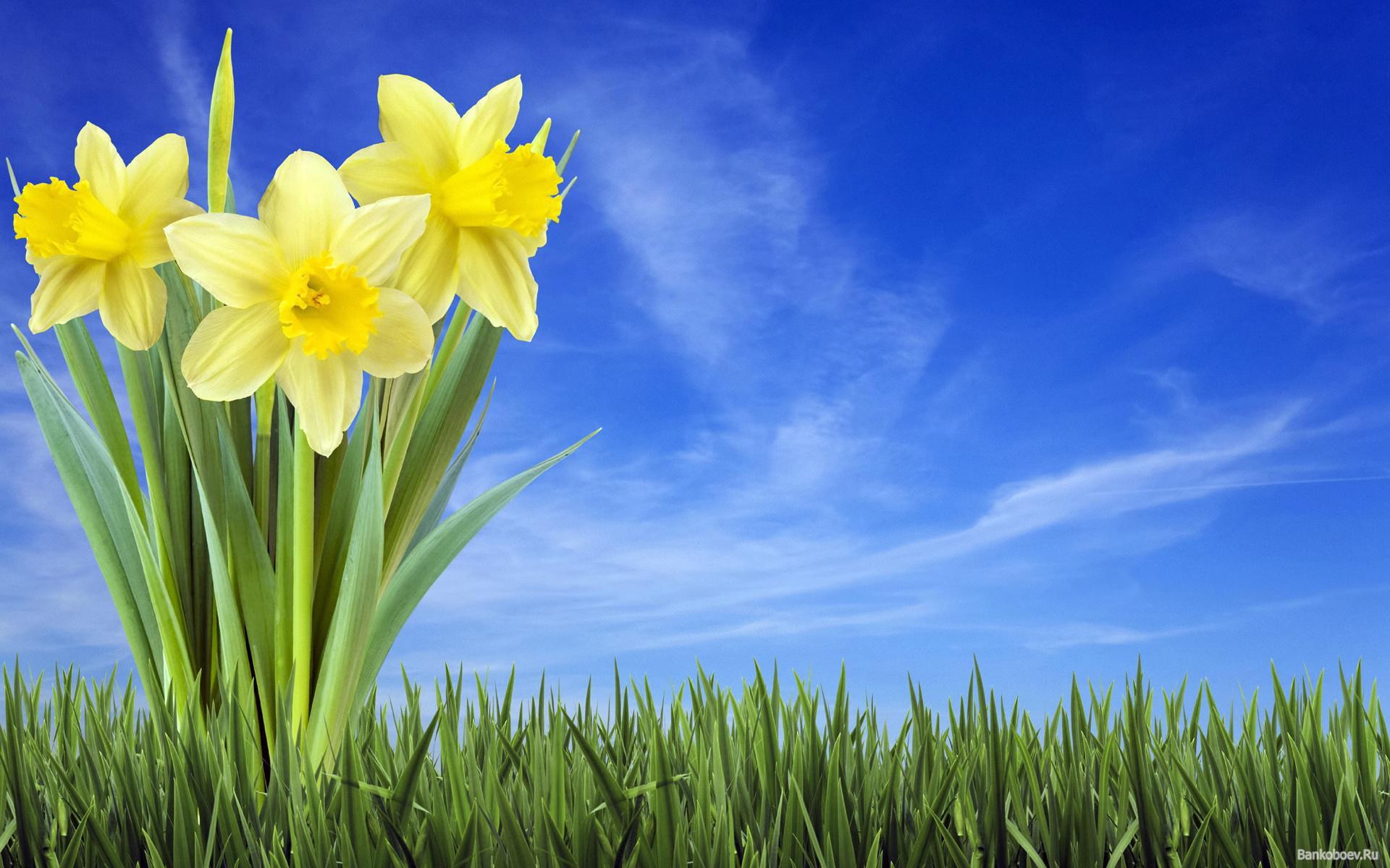 HD Daffodils In Grass Wallpaper