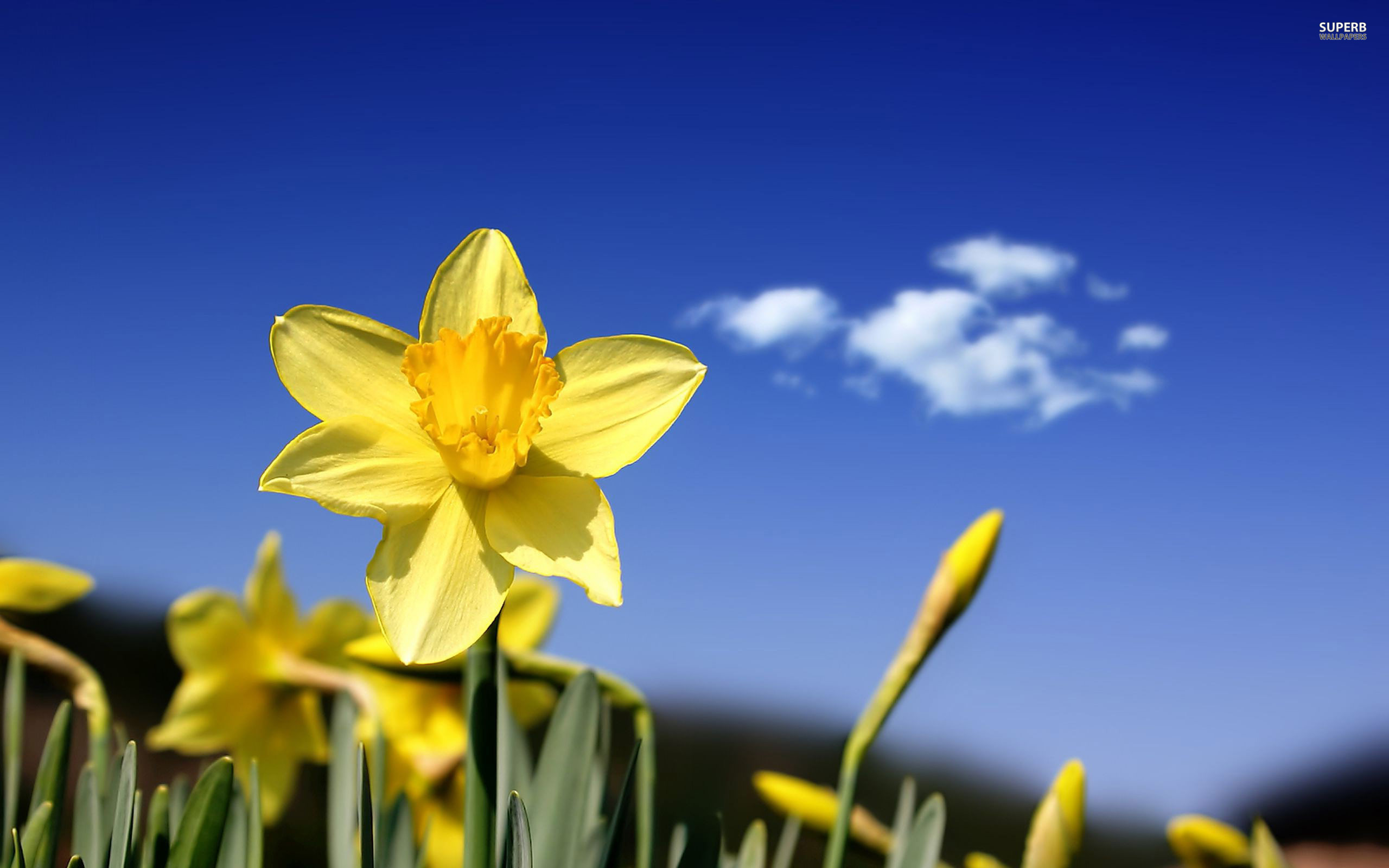 Daffodil wallpaper 2560x1600 jpg