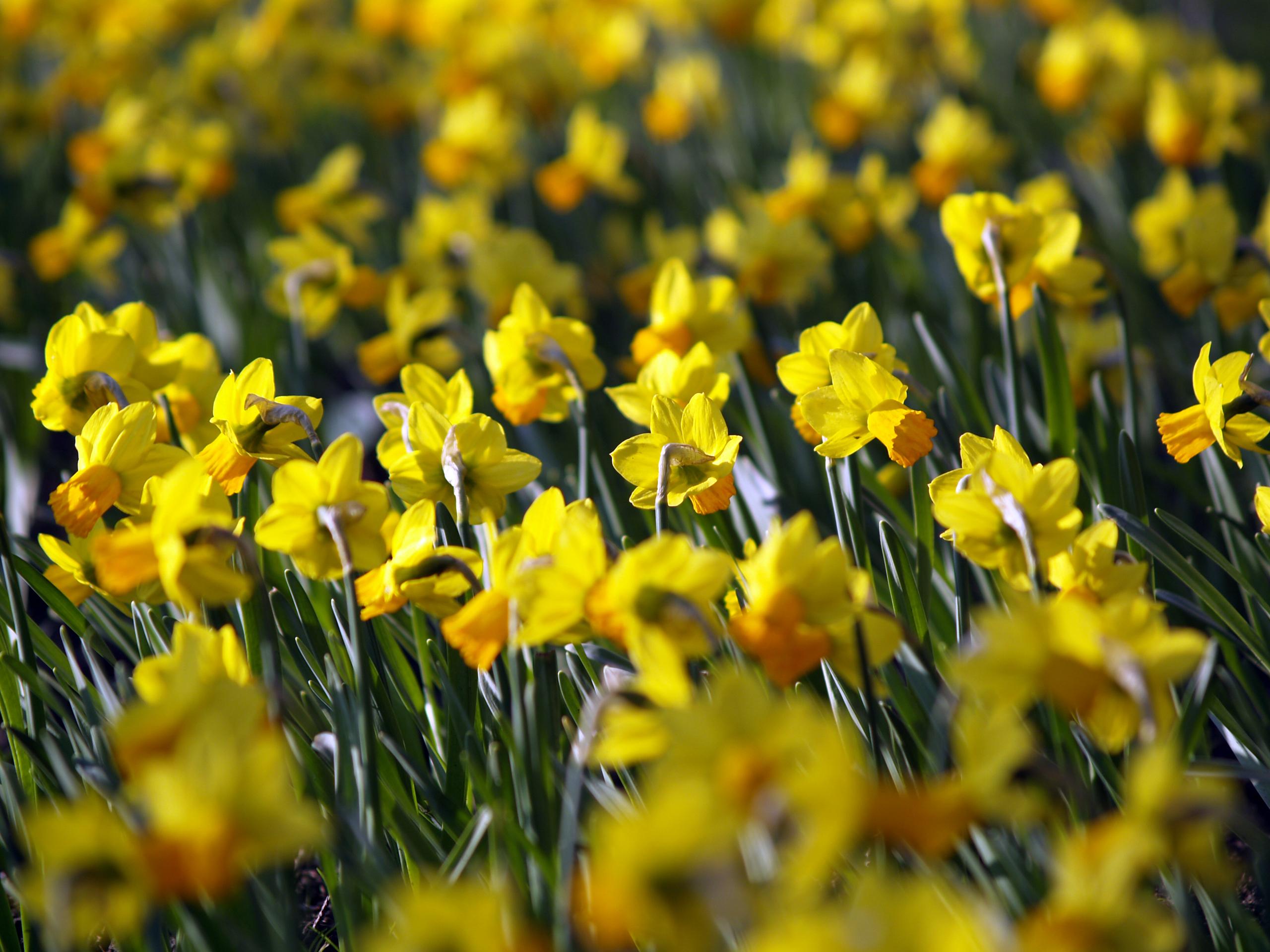 Daffodil Wallpaper 11565