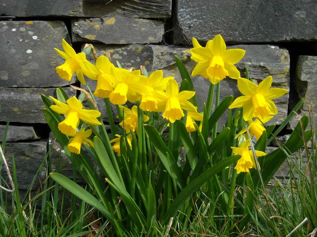 Daffodil Meaning of Flower Daffodils Flowers Meaning