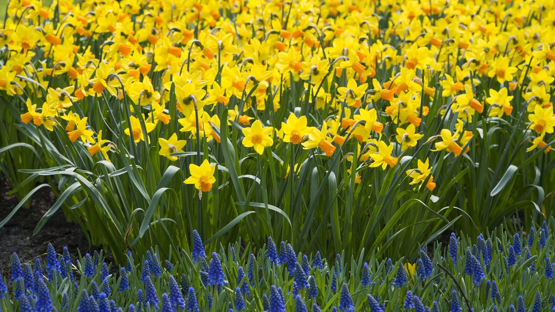 Flowers Download Nature Daffodils Wallpaper 1920x1080 Wallpoper Daffodil Flower HD Wallpaper | Garden | Pinterest