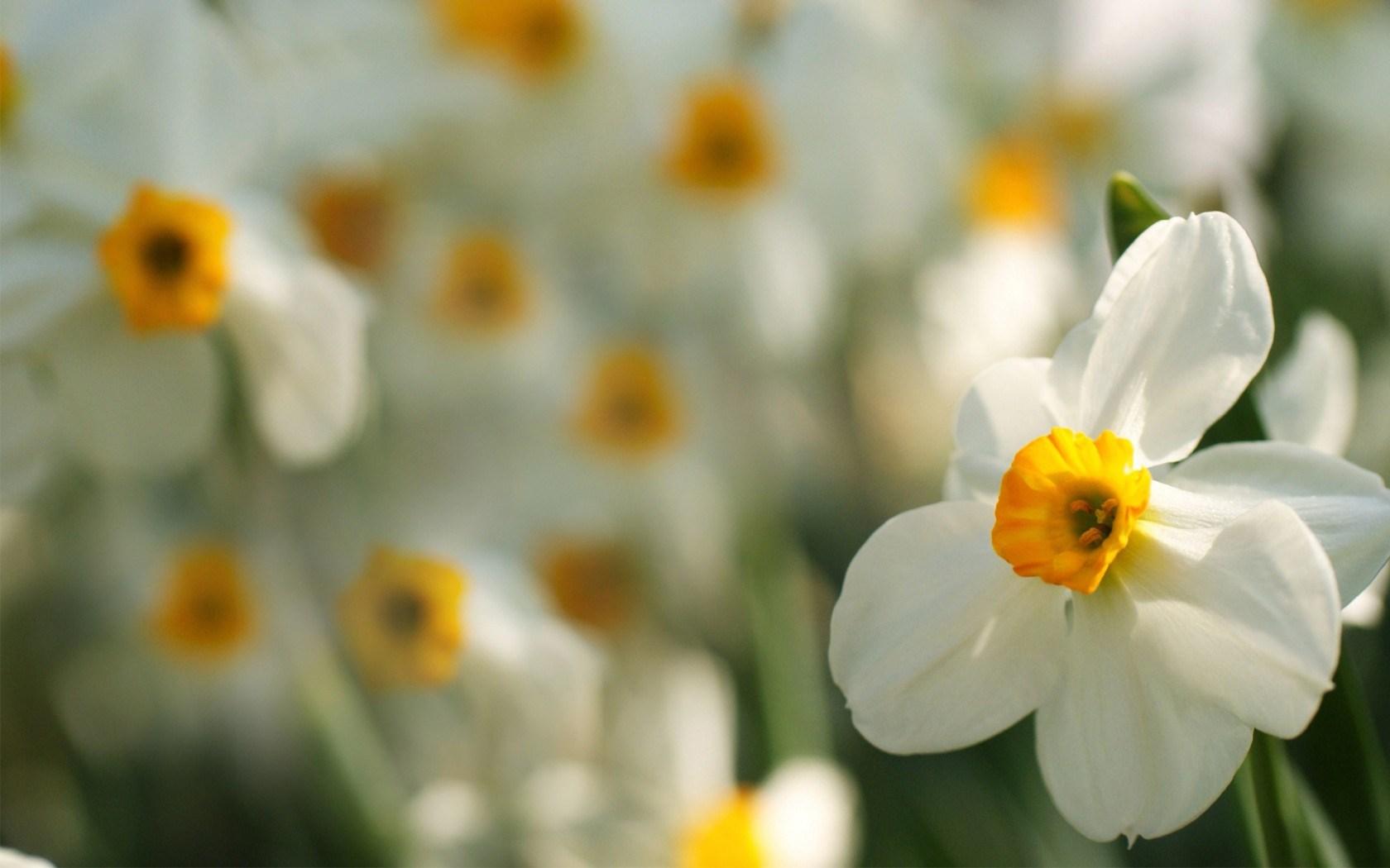 Daffodils Flowers Macro Focus Blur