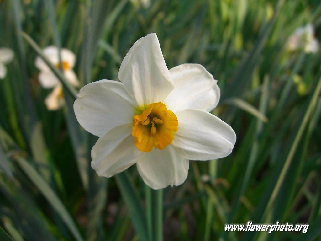 White Daffodil Flower; Daffodil Flowers