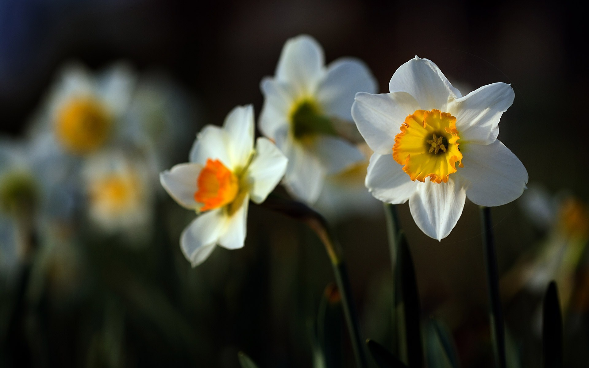 Daffodils Narcissus Flowers Wonderful Photo