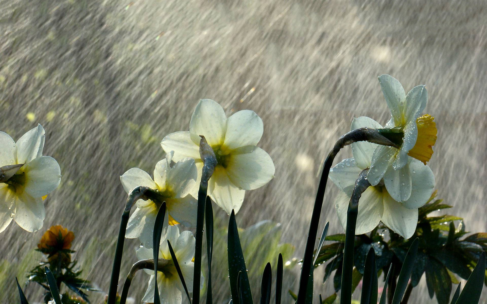 Daffodils rain