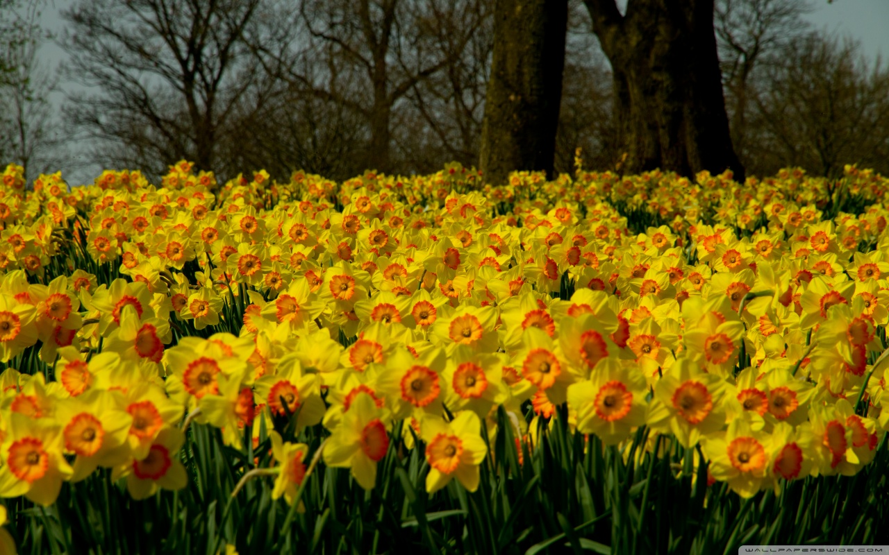 Daffodils Wallpaper