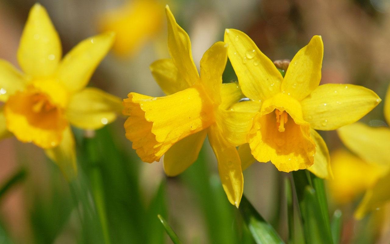 Daffodils Wallpaper