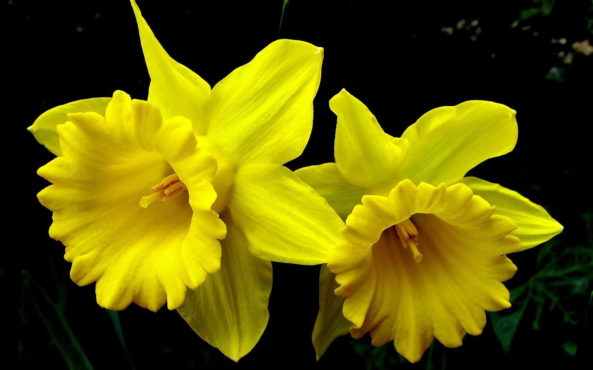 beautiful daffodils flowers high resolution wallpaper
