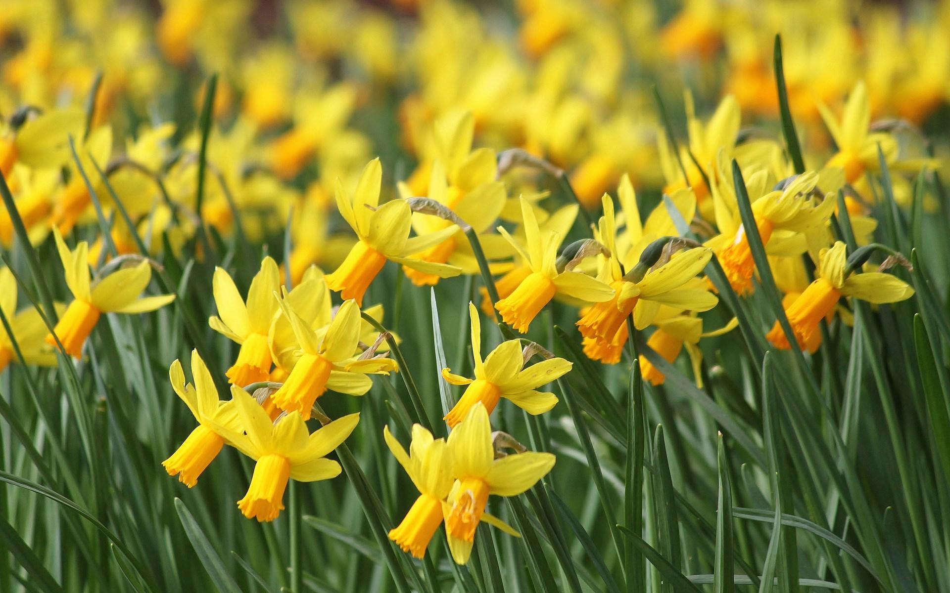 Daffodils Yellow Many Field