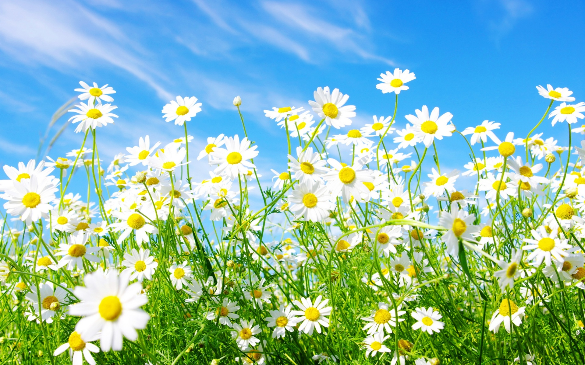 Daisies Flowers Hq Background 1920x1200