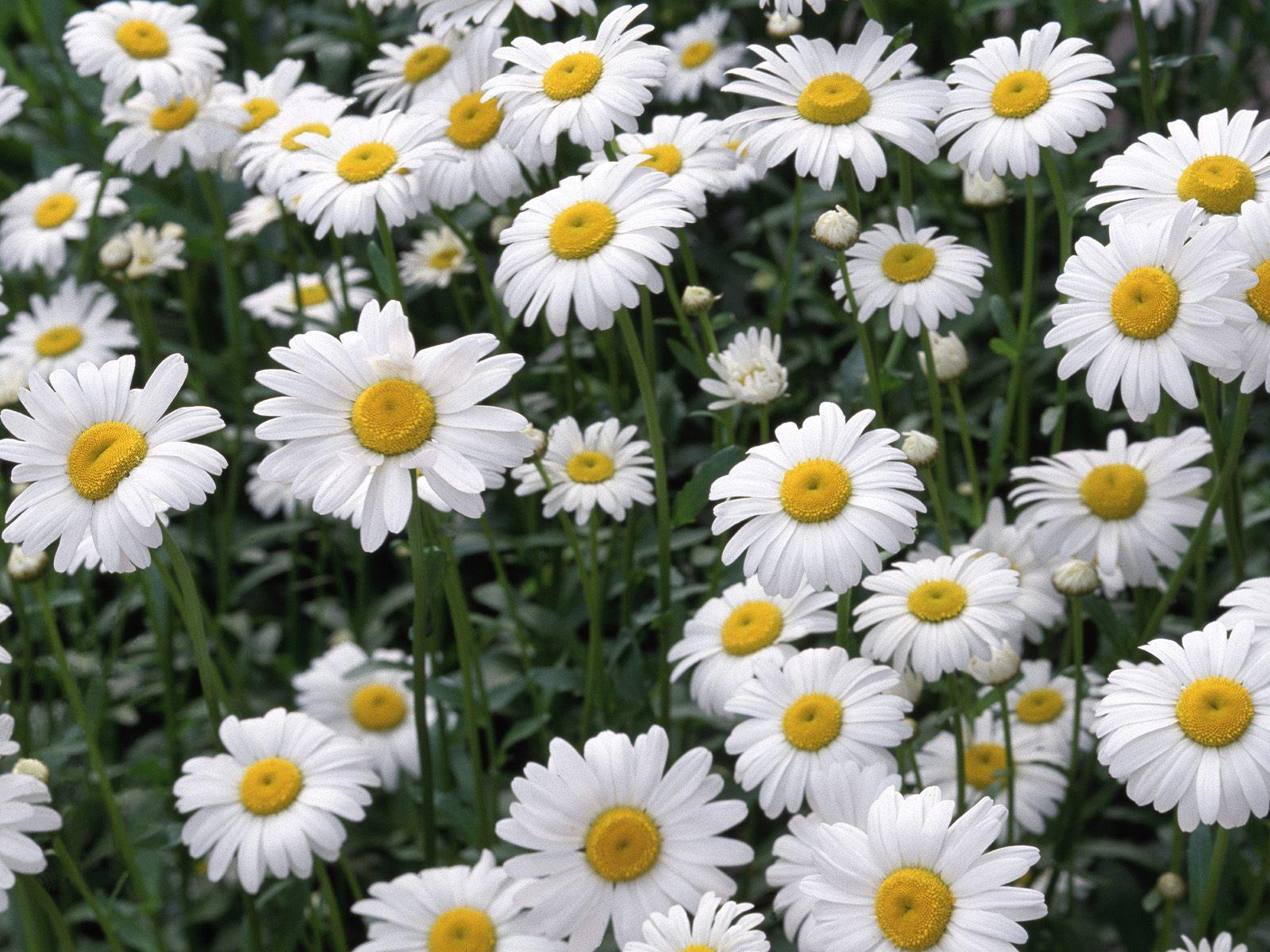 Daisies Background 10511