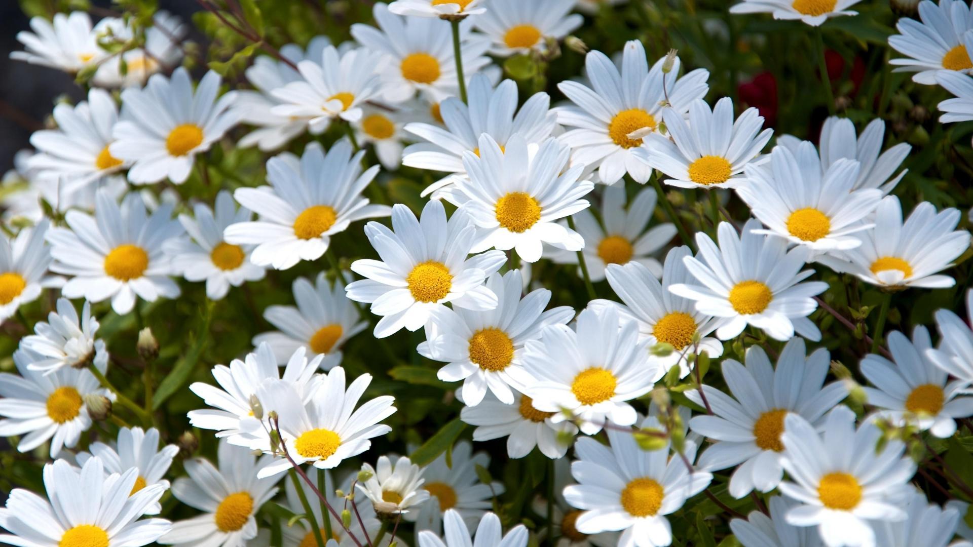 1920x1080 Wallpaper daisies, white, meadow, summer, mood