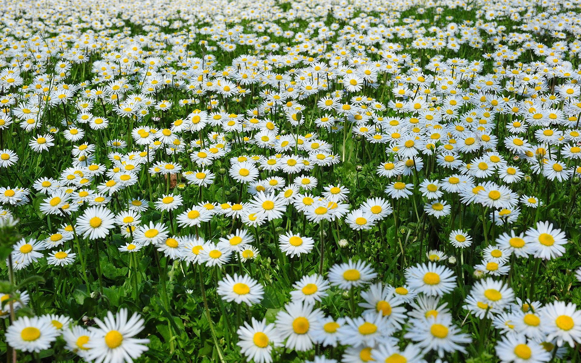 Daisies margherite