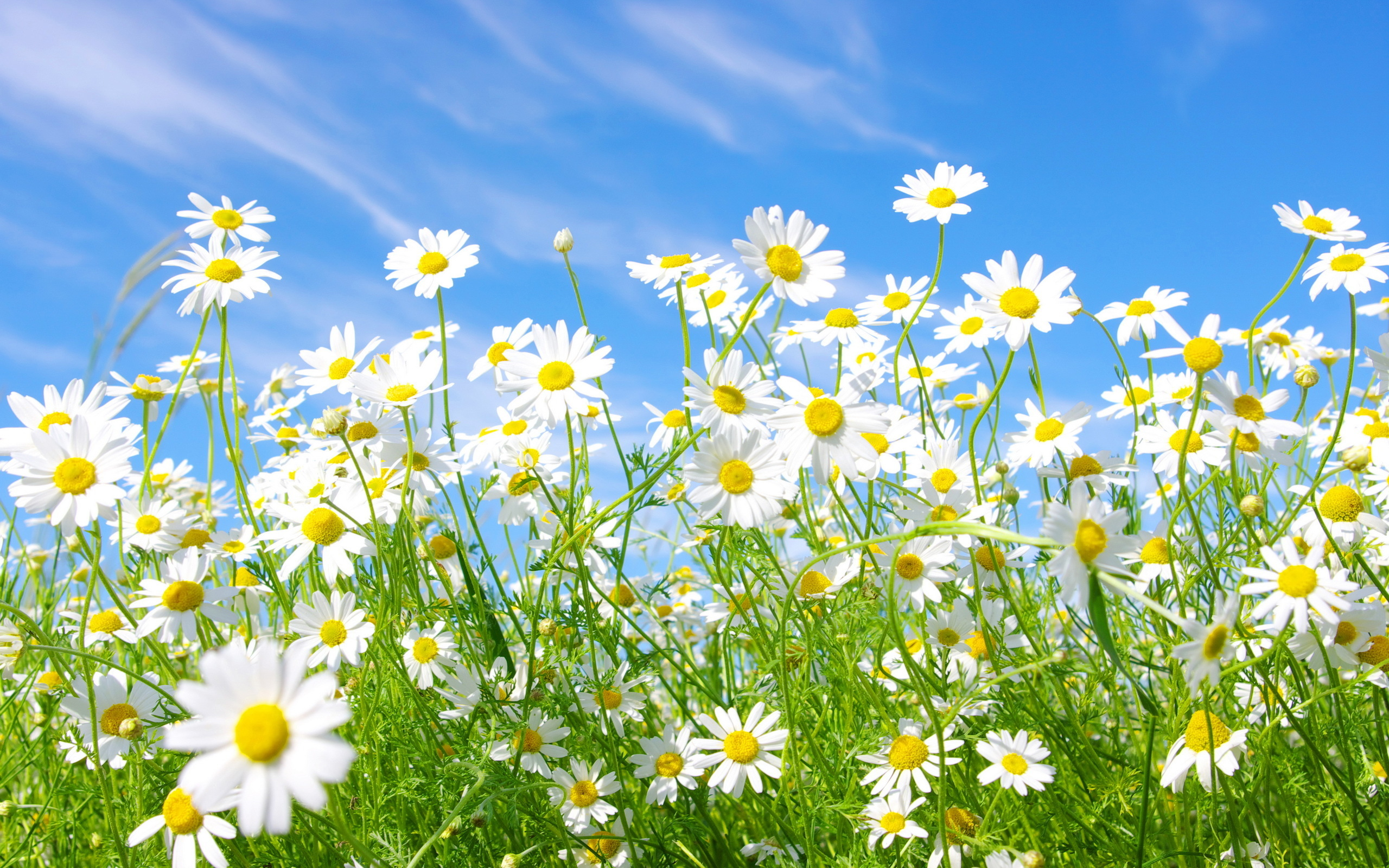 Daisies Meadow