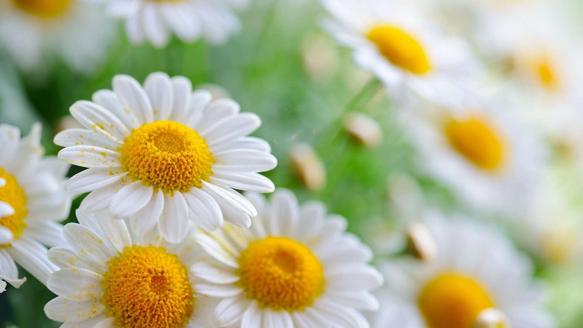 Daisies Wallpapers hd