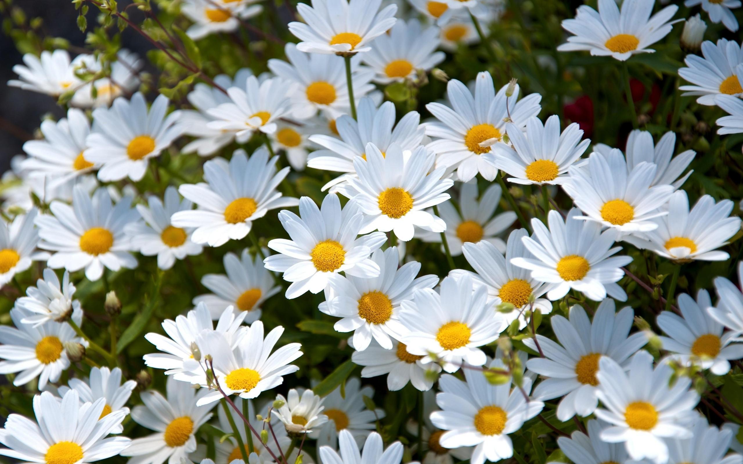 2560x1600 Wallpaper daisies, white, meadow, summer, mood